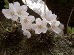 上野公園の桜(1)