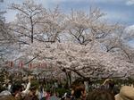 上野公園の桜(2)