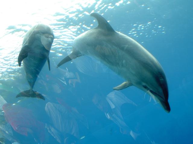 シロイルカの画像 p1_18